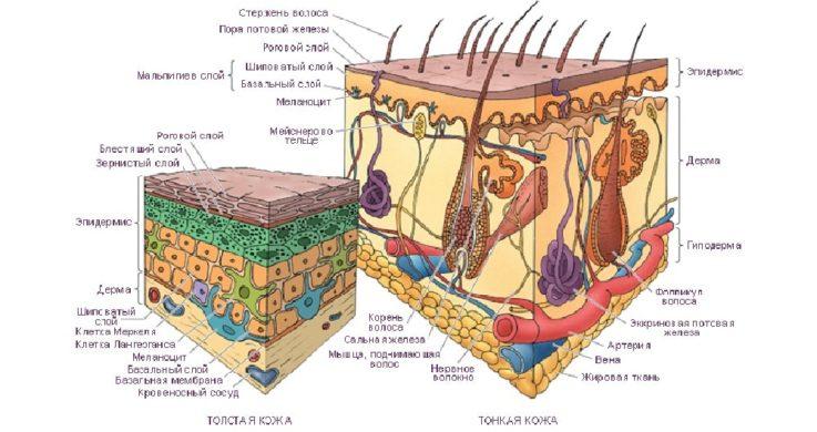 Строение кожи у детей