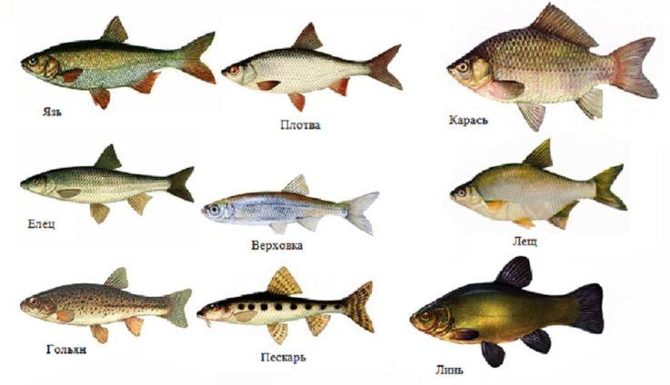 Через каких рыб можно заразиться
