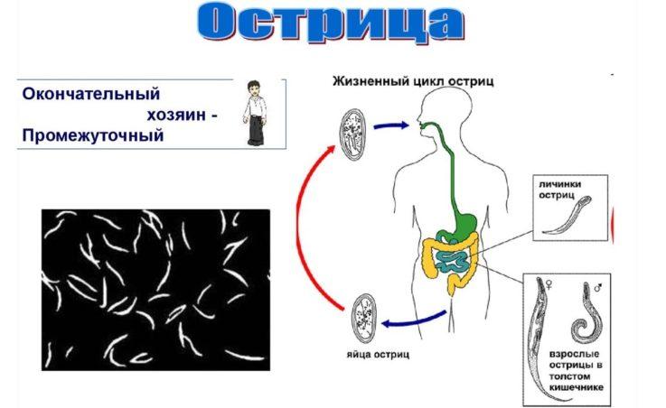 Жизнь червя в организме человека
