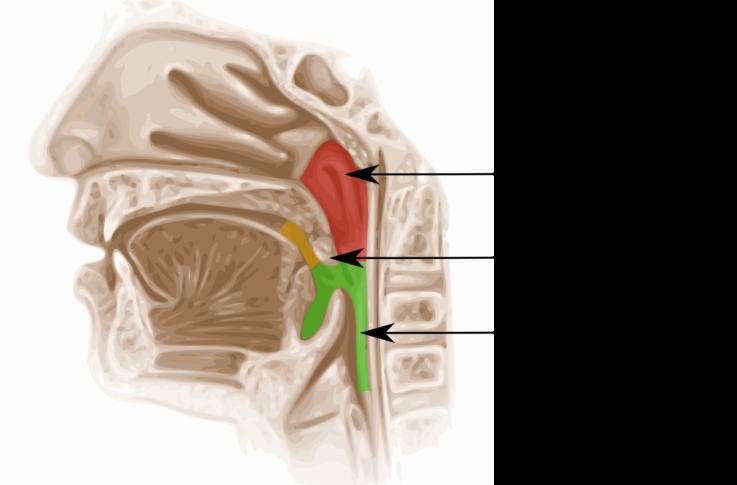 Анатомо-физиологические особенности ротоглотки у детей
