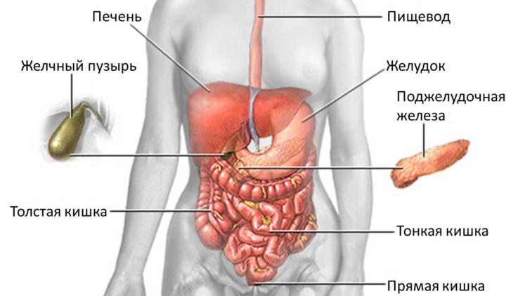 Коротко об анатомии желудка
