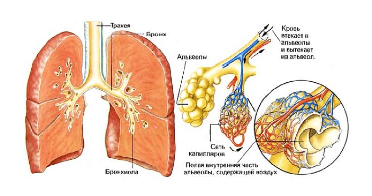 Лёгкие строение и функции