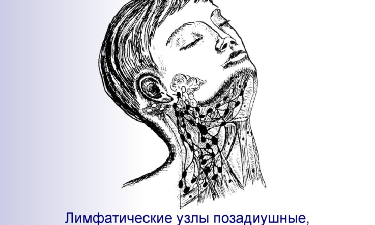 Анатомия и физиология лимфатической системы