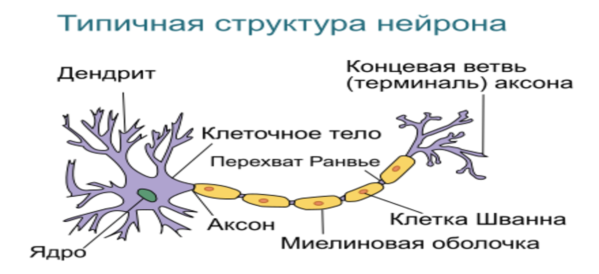 Что представляет собой невринома?