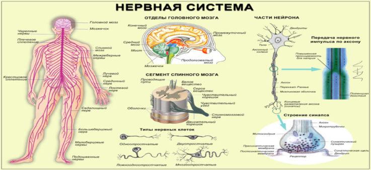Некоторые особенности нервной системы человека