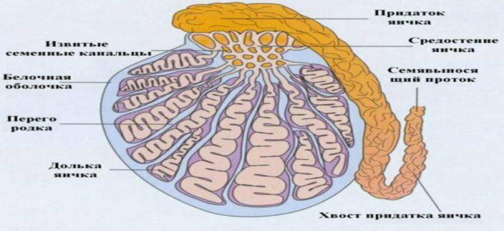 Кратко о строении и функции яичка