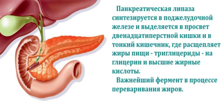Для чего в организме липаза?