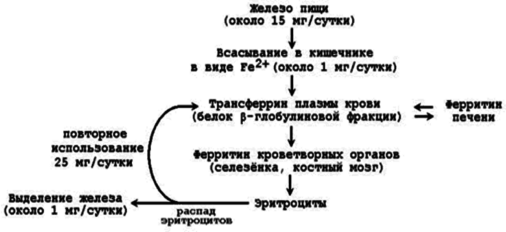 Функции сывороточного железа крови