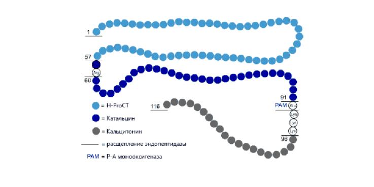 Что такое прокальцитонин