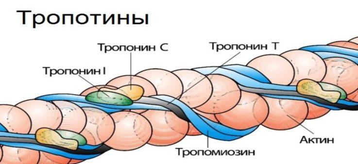 Что такое тропонин